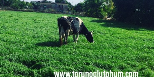 Ot Tipi Teff Grass Tohumu