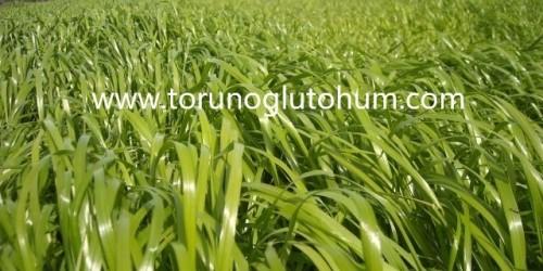 Reygras Tohumu Fiyatı
